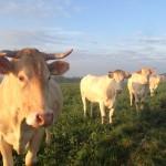 Koeien kijken